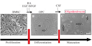 <p>Figure 4. Scheme showing the protocol for differentiation of BMSC to oligodendrocyte. For glial cells, undifferentiated BMSCs A) were plated in media that induce OPC generation B). Further cultivation in the presence of CSF was used to complete the maturation of OPC to</p>