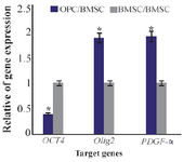 <p>Figure 6<em>. </em>Ratio of gene expression of <em>Oct4</em>, <em>Olig2</em>, <em>PDGF-α </em>in oligo-progenitor cells compared to BMSC. *: Significant increase or decrease. OPC: Oligoprogenitor cells. BMSC: Bone marrow stromal cells. Data are shown as mean±SEM from three independent experiments.</p>