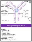 <p>Figure 6. Main considerations for linking cytotoxic payload to antibodies in ADC design and development.</p>