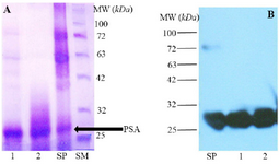 <p>Figure 1. A) SDS-PAGE analysis of Seminal Plasma (SP) and purified fPSA (lanes 1 and 2), SM: Size marker. B) Western blot analysis of SP and purified fPSA (lanes 1 and 2). 2G3 mAb conjugated with HRP were added to blotted membrane.</p>