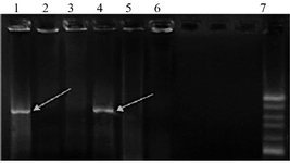 <p>Figure 2. <em>Agarose </em>gel electrophoresis of colony PCR results of the selected clones containing recombinant plasmid PcDNA3.1-<em>Tax-1</em>. Lines 1 and 5, PCR products of the recombinant plasmid containing <em>Tax-1</em> genes with an 890-<em>bp</em> fragment. Lines 2, 3 and 6, PCR products of plasmid<em> PcDNA3.1</em> without the insert. Line 7,100 <em>bp </em>DNA ladder.</p>
