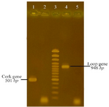 <p>Figure 1. PCR amplifications of cork and loop DNA segment from BauA Lane 1: PCR product of cork, Lane 2: negative control (a PCR product without template), Lane 3:100 <em>bp</em> DNA plus ladder, Lane 4: PCR product of loop, Lane 5: negative control.</p>