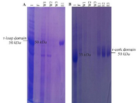 <p>Figure 3. SDS-PAGE analysis of purification of recombinant (a) loop and (b) cork domain. (a) Lane 1: expression of recombinant loop domain, Lane F: unbound protein flow, Lanes W1-W3: column washed with buffer, Lane E1: column washed with elution buffer. (b) Lane 1: expression of recombinant cork domain, Lane F: unbound protein flow, Lanes W1-W3: column washed with buffer, Lanes E1-E3: column washed with elution buffer.</p>