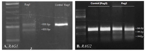 <p>Figure 3. Identification of CRISPR-mediated cleavage activity. A) Gel-electrogram image of <em>RAG1</em> fragments after CRISPR-mediated cleavage activity.&nbsp; PCR products of Rag1 were amplified and directly analyzed by 2% agarose gel. The presence of ~600 <em>bp</em> fragment showed that 213 <em>bp</em> fragment has been deleted from 800 <em>bpRAG</em>1 fragment. B) Gel-electrogram image of <em>RAG</em>2 fragments. After CRISPR-mediated cleavage activity, PCR products of <em>RAG</em>2 were amplified and subjected to T7EN1 cleavage assay. Cleavage bands were marked with an asterisk &lsquo;&lsquo;*&rsquo;&rsquo;.</p>