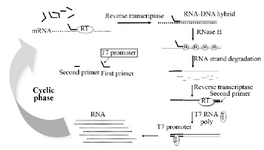 <p>Figure 1. Scheme for the amplification of RNA by the NASBA reaction.</p>