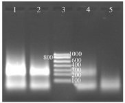 <p>Figure 4. Determination of the digoxigenin labeled NASBA products on 2% gel electrophoresis, Lane 1: NASBA product with 0.09 <em>mM </em>digoxigenin, Lane 2: NASBA product with 0.18 <em>mM </em>digoxigenin, Lane 3: RNA ladder, Lane 4: NASBA product with 0.35 <em>mM </em>digoxin-genin, Lane 5: negative control.</p>