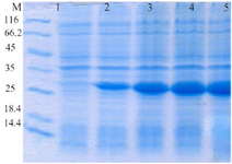 <p>Figure 1. Evaluation of HopH protein expression on SDS-PAGE gel (12%): well M: marker with low weight, well 1: uninduced HopH, well 2: induced HopH by 0.1 <em>mM</em> IPTG within the first <em>hr</em>, well 3: in-duced HopH by 0.1 <em>mM</em> IPTG within the second <em>hr</em>, well 4: induced HopH by 0.1 <em>mM</em> IPTG within the third <em>hr</em>, well 5: induced HopH by 0.1 <em>mM</em> IPTG within the fourth <em>hr</em>.</p>