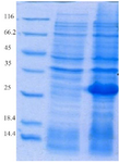 <p>Figure 2. Evaluation of HopH protein expression on SDS-PAGE gel (12%): well M: marker with low weight, well 1: uninduced HopH, well 2:&nbsp; induced HopH by 0.1 <em>mM</em> IPTG within the fourth <em>hr</em>.</p>