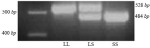 <p>Figure 1. 5-HTTLPR genetic polymorphism.&nbsp; Genotypes of 5-HTTLPR polymorphism determined by PCR method and analyzed by a 2.5% agarose gel electrophoresis stained with DNA safe stain and viewed under UV light. The size of the restriction fragments is shown.</p>