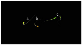 <p>Figure 3. Capacitation state of stallion spermatozoa using chlortetracycline (CTC) staining. a) uncapacitated acrosome-intact spermatozoa (F-pattern); b) capacitated acrosome-intact spermatozoa (B-pat-tern); c) acrosome reacted spermatozoa (AR-pattern).</p>