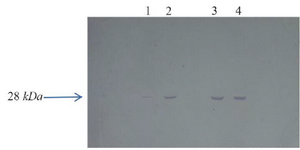 <p>Figure 4. BP26 production was approved by western blot analysis. Lane 1; BP26 before adding nisin, Lane 2; BP26 production 1 <em>hr</em> after adding nisin, Lane 3; BP26 production 3 <em>hr</em> after adding nisin, Lane 4; BP26 production 5 <em>hr</em> after adding nisin.</p>