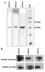 Figure 4. Analysis of the purified recombinant FHA fragments by SDS-PAGE; A) and Western blotting; C). All proteins were purified through His-tag by Ni-NTA column. SDS-PAGE analysis was performed using a 12% polyacrylamide gel followed by Coomassie blue staining. Western blot analyses of rFHA1-3 fragments were performed using two different preparations of detecting antibodies, including rabbit anti-FHA produced in our lab and a commercial rabbit anti-His tag. SM: protein size marker