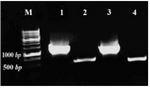 Figure 3. Amplification of ura3 and actin fragments using genomic DNA of S. cerevisiae and S. boulardii. M: Size marker, 1: S. cerevisiae ura3 fragment (1.2 kb), 2: S. cerevisiae actin fragment (0.5 kb), 3: S. boulardii ura3 and 4: S. boulardii actin fragments