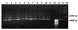 Figure 2. Multiplex PCR. Lanes 1-11: Multiplex PCR products of STD 3-6 and 8-14 genomic DNA. Lane 12: untransfected CHO DG44 cell line as negative control. Lane 13: GeneRuler™ 100bp DNA Ladder (Fermentas). Lane 14: pSLO7 plasmid as positive control for the light chain. Lane 15: pSHC12 plasmid as positive control for the heavy chain