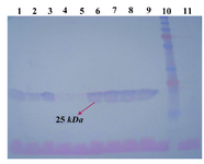 Figure 3. Western blotting using anti-human IgG1 antibody on PVDF membrane. Lanes 1-9: concentrated supernatant of STD 12-18 and 20-21 transformants. Lane 10: PageRuler™ plus pre-stained protein ladder (Fermentas). Lane 11: concentrated supernatant of untransfected CHO DG44 cell line as negative control