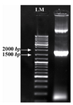 Figure 3. Colony PCR for confirmation of Agrobacteria grown on selective media. Lanes 1; positive clone, LM; molecular weight marker