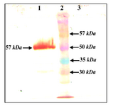 Figure 5. Western blot of leaf extract containing IpaB. Using anti His antibody, 1) infiltrated leaves, 2) MW, 3) plant negative control