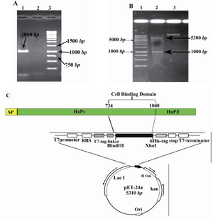 Figure 1. Cloning strategies for constructing the pET24a-cbd expression vector. A) Agarose gel electrophoresis of the PCR amplified fragment. From left to right, Lane 1: PCR product (shown with arrow), Lane 2: negative control, Lane3 : DNA Marker (Invitrogen, Karlsruhe, Germany); B) Restriction analysis of the pET24a-cbd construct. From left to right, Lane 1: DNA marker (Invitrogen, Karlsruhe, Germany), Lanes 2 and 3: digested and undigested forms of pET24a-cbd by HindIII/XhoI enzymes, respectively; C) Schematic representation of the expression elements in the pET24a-cbd plasmid; The cbd nucleotide sequence corresponding to amino acid residues of 734-1040 of NTHi strain P860295 was amplified by PCR and ligated into the HindIII/XhoI sites of the pET24a plasmid. This cloning strategy permitted to fuse T7 tag to the N-terminal and a 6xHis tag to the C-terminal of the CBD fragment. RBS and stop elements denote ribosme-binding site and translational stop codon, respectively