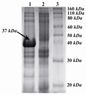 Figure 2. SDS-PAGE analysis of recombinant CBD with Coomassie-stained: From left to right, Lane 1: Induced with IPTG (arrow shows the ~37 kDa band), Lane 2: Non-induced with IPTG, lane 3: Protein marker