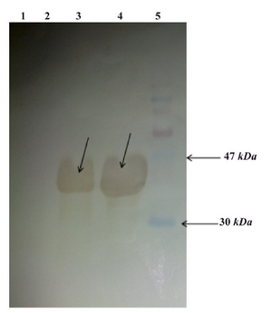 Figure 5. Western blot analysis: From left to right, Lane 1: E.coli BL21 (DE3) lysate, Lane 2: Uninduced E.coli BL21 (DE3) cells containing pET24a-cbd lysate, Lane 3: Induced E.coli BL21 (DE3) containing pET24a-cbd lysate, Lane4: Purified CBD, Lane5: Protein marker (shown with arrows)