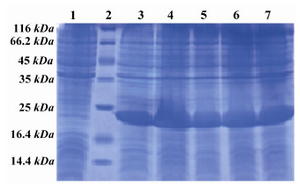 Figure 2.  SDS PAGE pattern of induction and expression rate of hPTH (1-34) fusion protein. Lane 1: Before induction, Lane 2: Low MW marker, Lane 3: 1 hr after induction, Lane 4: 2 hr after induction, Lane 5: 3 hr after induction, Lane 6: 4 hr after induction, Lane 7: 5 hr after induction