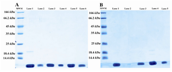 Figure 4. SDS-PAGE pattern of size exclusion (a) and ion exchange (b) chromatography fractions; A) SDS-PAGE analysis of size exclusion column fractions. Lane 1 is the digested sample and lanes 2-6 are fractions of SE column. There is some undigested protein in lane 1; B) SDS-PAGE analysis of SP sepharose FF fractions. Lane 1 is pooled SE column fractions, lane 2 is empty and lanes 3-5 are fractions of SP sepharose FF
