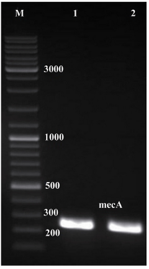 Figure 1. Electrophoresis of PCR products on agarose gel (1% w/v). Lanes 1 and 2, single expected band of mecA (approximately 242 bp); lane M, 1 kB DNA size marker