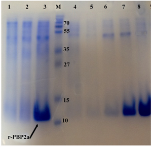 Figure 3. Detection of expressed and purified recombinant PBP2a in SDS-PAGE (12% w/v). The gel was stained with Coomassie blue G-250. Samples were resuspended directly in SDS loading buffer and boiled for 5 min. Amount of proteins loaded in each well was about 50 µg. Lane 1, Negative control cells (BL21 with pET24a(+); lane 2, pellet of un-induced bacteria; lane 3, pellet of IPTG induced bacteria; lane 4, flow through material, lanes 5and 6 inclusion bodies after washing and solubilizing; lane 7, purified r-PBP2a from  Ni-NTA Agarose  column  lane 8, PBP2a protein  after dialysis; lane M, standard protein size marker (kDa). The 