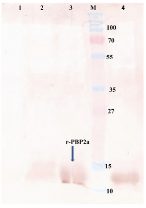 Figure 4. Western blot of recombinant autolysin protein probed by anti-His (1:10,000). Lane 1, control negative (pET24a+ without mecA fragment); lane 2, pellet of un-induced bacteria; lane 3, pellet of IPTG induced bacteria; lane 4, purified r-PBP2a; lane M, pre-stained protein size marker (kDa). HRP-conjugated anti-rabbit IgG (1:7000) and DAB were used