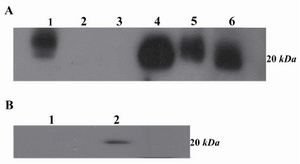 Figure 6. A) Western blot analysis of 2F9-C9 mAb reactivity with different cell lysates and purified ferritin. Lanes 1 and 4 represent human and murine liver lysates, respectively; lanes 2 and 3 include Raji and PC3 cell lysates as negative controls, respectively. Lane 5 includes K-562 cell lysate and lane 6 includes purified human ferritin; B) Lane 1 represents inhibition of 2F9-C9 reactivity with ferritin by saturating amounts of exogenous ferritin. Lane 2 represents unblocked 2F9-C9 reactivity with purified human ferritin