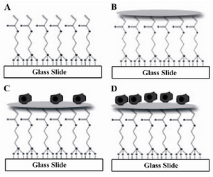 Figure 1. Glass surface modification and cell seeding process. A) Glass surface modification; B) Collagen ECM micro-patterning; C) Cell seeding; D) Cell spreading and division