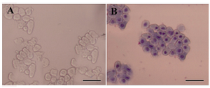 Figure 3. Morphological assessment of freshly isolated hAECs. A) Freshly isolated hAECs was investigated morphologically under invert microscope; B) or after Gimsa staining. These cells appeared as flat cuboidal cells with abundant cytoplasm and high cytoplasm/nuclear ratio. Scale bar; 50 µm