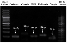 Figure 1. PCR products which were analyzed by gel electrophoresis evidencing that mentioned genes were expressed by chick somites in vitro