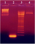 Figure 1. PCR amplification of 80 bp insert from digested plasmid pUB110 with EcoRI and XbaI. HindIII digested lambda DNA, the 80 bp insert, DNA ladder and pUB110plasmid digested with EcoRI and XbaI are shown in lanes 1, 2, 3 and 4, respectively