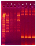 Figure 4. Agarose gel electrophoresis showing PCR amplification products of neomycin gene (300 bp). First lane is a DNA size marker (100 bp DNA ladder). Lanes 2-5 and lanes 6-9 are PCR products from the neomycin gene in non-transformed and transformed cells, respectively