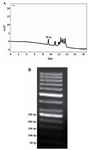 Figure 4. A 50 bp DNA ladder fragment sizing. A) HPLC analysis of a double-strand 50 bp size marker was performed. The fragments were separated from light to heavy chains from left to right. B) Analysis of DNA fragment sizing on 2% agarose gel