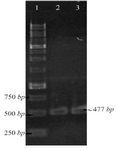 <p>Figure 1. PCR amplification of pET-ESLPI for generating NSLPI and CSLPI: (1) 1 <em>Kb</em> DNA ladder, (2) PCR product of NSLPI, (3) PCR product of CSLPI.</p>