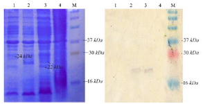 <p>Figure 3. Analysis of SLPI expression. Coomassie blue stained 15% SDS-PAGE (A), western blot analysis. M. Molecular weight marker, (1) total protein of <em>E. coli</em> pET-NSLPI without IPTG induction, (2) total protein of <em>E. coli</em> pET-NSLPI under 0.6 <em>mM</em> IPTG induction, (3) total protein of <em>E. coli</em> pET-CSLPI under 0.6 <em>mM</em> IPTG induction, and (4) total protein of <em>E. coli</em> pET-CSLPI without IPTG induction.</p>