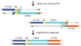 <p>Figure 2. The principle of construction of the chimeric SOX2 fragment using the single tube OE- PCR. The complementary sequence I and II of SOX2 had the same annealing temperature; therefore, the chimeric DNA fragment was constructed using the single tube OE- PCR method. The 3'end of each fragment plays the role of primer and continues extension. The resulting products were amplified with the outside primer.</p>