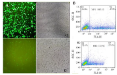 <p>Figure 4. Transfection using Lipofectamine 3000. (A): The transfection of chimeric GFPd2 with the K2 and K1 sequence in HEK293T cell line after 24 <em>hr</em> illustrated by fluorescent microscope. (B): The mean fluorescent intensity (MFI) of GFP expression from chimeric GFPd2-K2 or K1 plasmid 24 <em>hr</em> after transfection.</p>