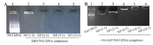 <p>Figure 1. A) Representative gel retardation assay of HR9 peptide complexed with pEGFP-NS3 at different N/P ratios: Lane 1: naked plasmid DNA as a control (pEGFP-NS3), Lane 2: N/P = 1:1, Lane 3: N/P=2:1, Lane 4: N/P = 5:1, and Lane 5: N/P = 10:1; B) Gel retardation assay of +36 GFP complexed with pEGFP-NS3 at various N/P ratios: Lane 1: pEGFP-NS3, Lane 2: N/P = 1:1, Lane 3: N/P = 2:1, Lane 4: N/P=5:1, Lane 5: N/P = 10:1 and Lane 6: N/P = 20:1. The mixtures were analyzed by electrophoresis on a 1% agarose gel. The DNAs complexed with HR9 peptide and +36 GFP that were not able to migrate into the gels were observed at an N/P ratio of 2:1 and 5:1, respectively.</p>