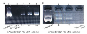 <p>Figure 2. (A) Stability analysis of HR9-based nanoparticles against DNase I; Lane 1: naked plasmid DNA without DNase, Lane 2: naked plasmid DNA with DNase, Lane 3: N/P=2:1, Lane 4: N/P=5:1, Lane 5: N/P=10:1; (B) Stability analysis of HR9-based nanoparticles against serum; Lane 1: naked plasmid DNA, Lane 2: N/P=2:1, Lane 3: N/P = 5:1, Lane 4: naked plasmid DNA with serum.</p>