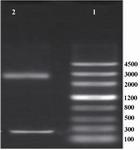 Figure 1. Electrophoresis of the products of pUC18 plasmid. Lane 1 contained DNA ladder (Genscrip (USA)), lane 2 contained 2 bands representing pUC18 and IGF-1