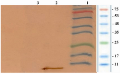Figure 4. Analysis of the expression of rhIGF-1 using western blotting technique. Lane 1 contained protein marker (Sinagene, Iran), lane 2 contained rhIGF-1 protein and lane 3 representing the pattern of transformed BL21 under un-induction (without IPTG).