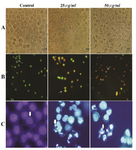 Figure 4. Morphological effect of O. erinaceus extracted polysaccharide on HeLa cells. Panel A) visualization with inverted microscopy. Panel B) AO/ PI double staining and Panel C) DAPI staining. Arrows in panel B from left to right point to live cells, apoptotic cells and necrotic cells and in panel C indicate chromatin condensation.