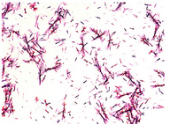 Figure 1. Light microscope observation of Proteus mirabilis PCM 543 culture during the MTT test.