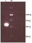 Figure 1. ctla-4 gene PCR product with Pfu polymerase enzyme