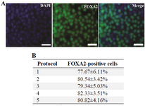 Figure 3. A: Immunocytochemistry staining of expression of DE marker FOXA2 in differentiated hiPSCs. After treatment with different endodermal differentiation media for three days, the differentiated hiPSCs were stained with rabbit anti-FOXA2 antibody and goat anti-rabbit IgG-FITC antibody. Nuclei were stained with DAPI. Scale bar=100 <i>µm</i>; B: The percentage of the cells expressing FOXA2 on the third day of the differentiation. Data represent the proportion of FOXA2-positive cells to the total cells in percentage. No significant differences in the percentages of the FOXA2-positive cells of five groups were detected. Data show the mean±standard deviation (SD) of three independent experiments.