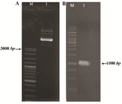 Figure 1. Constructed pET-ret plasmid after cloning of reteplase gene in pET-21; A) Purification from <i>E. coli</i> DH5α. M: molecular weight marker, 1:3 <i>µl</i> of plasmid on 1% agarose gel. B) PCR amplification of reteplase gene (1065 <i>bp</i>) using pET-ret as the template, M: molecular weight marker, 1:5 <i>µl</i> of the PCR product on 1% agarose gel.