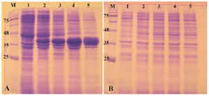 Figure 2. Analysis of recombinant reteplase expressed in <i>E. coli</i> BL21 (DE3) at 37<i>°C</i> and 1 <i>mM</i> IPTG. A) The insoluble (pellet) and B) soluble fractions of cell lysates were separated and loaded on 10% SDS-PAGE. M: prestained molecular weight marker, fractions were withdrawn before induction of expression (lane 1), at 1 <i>hr</i> (lane 2), 2 <i>hr</i> (lane 3), 4 <i>hr</i> (lane 4) and 20 <i>hr</i> (lane 5) after induction.